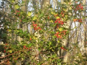 Sapia - Holly at Cranberry Bog, Dec 2015