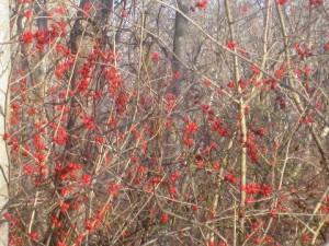 Sapia - Winterberry at Cranberry Bog, Dec 2015