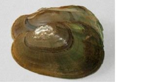 Green Floater Mussel