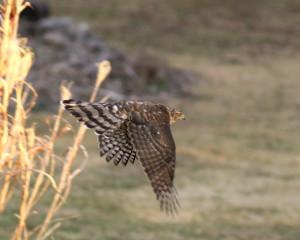 Cooper's Hawk - Mish, Feb 2016