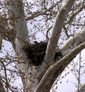 Hawk Nest - Mish, Feb 2016