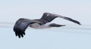 Marsh Hawk - Mish, Feb 2016