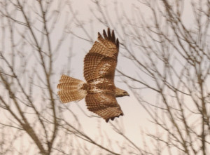 Red Tailed Hawk - Mish, Feb 2016