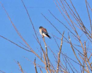 Sparrow Hawk - Mish, Feb 2016