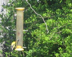 Eastern Goldfinch at feeder