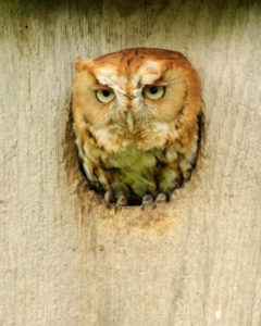 Mish - Adult Red Phase Screech Owl