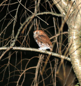 Mish - Christmas screech owl