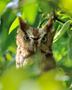 Mish - Female Red Phase Screech Owl May 2016