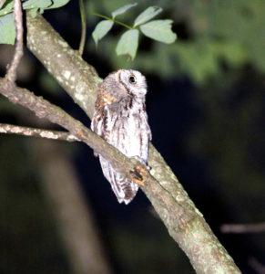 Mish - screech owl at dusk