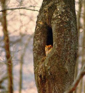 Mish - screech owl in tree