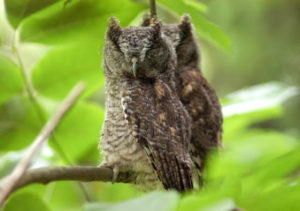 Mish - twin screech owls