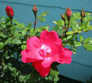 close-up of knock out roses
