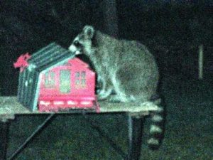 raccoon at backyard feeder