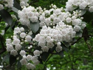 sapia - mountain laurel