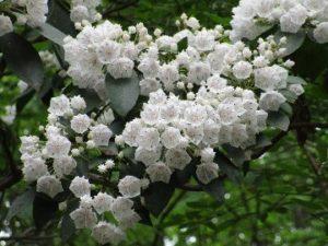 sapia - mountain laurel