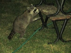 sapia - raccoon
