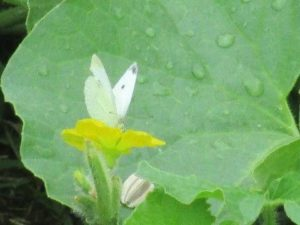cabbage white on cantaloupe