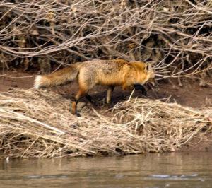 mish-red-fox-1-oct-2016