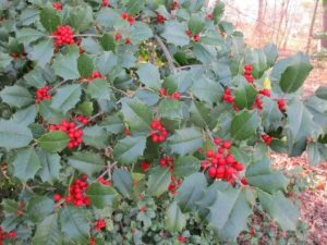 Sapia - holly in Monrow Twp.