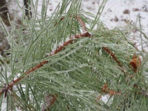 Sapia - ice in pitch pine needles