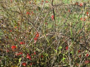 4.19.17 - Sapia - flowering quince