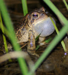 4.20.17 - mish - american toad throat