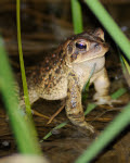 4.20.17 - mish - american toad